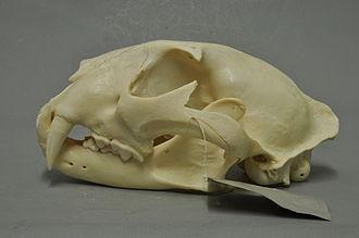 Javan leopard - Skull of a Javan leopard