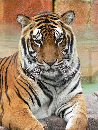 Life of Pi - A Bengal tiger
