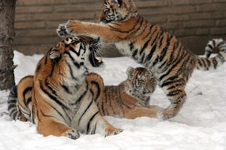 Statut légal du Tigre dans TIGRE 320px-Panthera_tigris_altaica_31_-_Buffalo_Zoo
