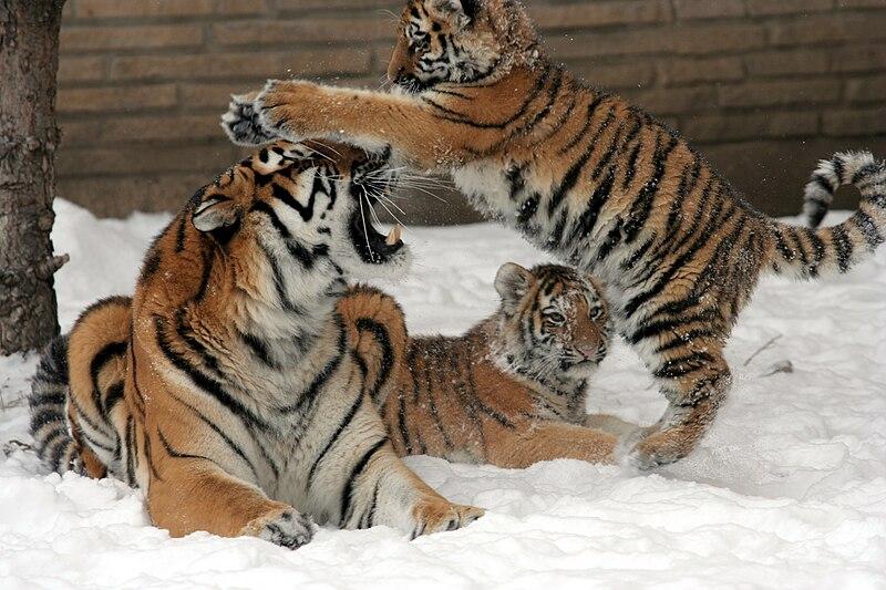 Fichier:Panthera tigris altaica 31 - Buffalo Zoo.jpg