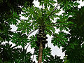 Papaya (Carica papaya) tree (21561916965).jpg