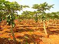 Papaya plantation near Fushan town, Hainan, China - 03.jpg