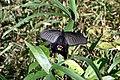 Papilio protenor, Tokyo, 2018.jpg