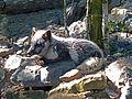 Parc animalier de Sainte-Croix-Renard polaire (2).jpg