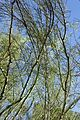 Parkinsonia microphylla kz3.jpg