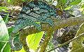 Parsons chameleon 1.JPG