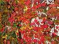 Parthenocissus tricuspidata IMG 4671.jpg