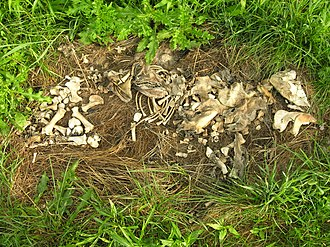 Chemical process of decomposition - Image: Partially skeletonized pig (Sus scrofa)