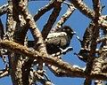 Parus niger, b, Waterberg.jpg