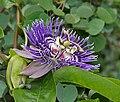 Passiflora 'Soi Fah' in Hyderabad, AP W IMG 0098.jpg