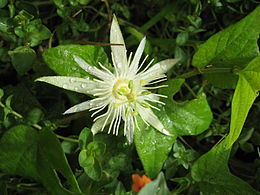 Passiflora capsularis flower.jpg