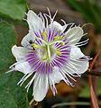 Passiflora foetida W IMG 0571.jpg