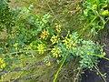 Pastinaca sativa plant.jpg