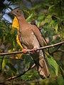 Patagioenas subvinacea Paloma colorada Ruddy Pigeon (36720583912).jpg