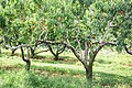 Peaches at Applecrest Farm Orchards - 20295086315.jpg