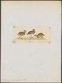 Pedionomus torquatus - 1820-1863 - Print - Iconographia Zoologica - Special Collections University of Amsterdam - UBA01 IZ17100183.tif