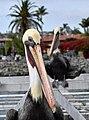 Pelican Portrait (15282674883).jpg