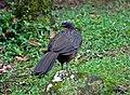 Penelope obscura -Parque Nacional do Itatiaia, Rio de Janeiro, Brazil-8 (1).jpg