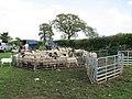 Penned sheep - geograph.org.uk - 1278197.jpg