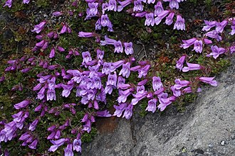 Penstemon davidsonii - P. davidsonii var. menziesii, Olympic National Park, Washington