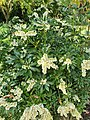 Penzance - Pieris japonica.jpg