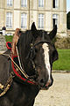 Percherons attelés mondial du cheval percheron 2011Cl J Weber04 (24000851051).jpg