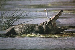 Mugger or Marsh Crocodile