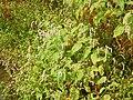 Persicaria orientalis 03.JPG