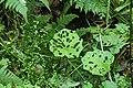 Pestwurz-Blätter mit Schäden zwischen Abtsroda und Sieblos.jpg