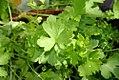 Petroselinum neapolitanum 1zz.jpg