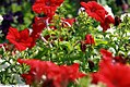 Petunia grandiflora Dreams Red 2zz.jpg
