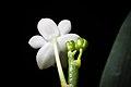 Phalaenopsis lobbii (Rchb.f.) H.R.Sweet, Gen. Phalaenopsis 53 (1980) (25785005717).jpg