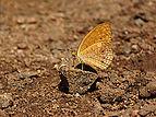Phalanta alcippe by Nayikayam Thattu.jpg