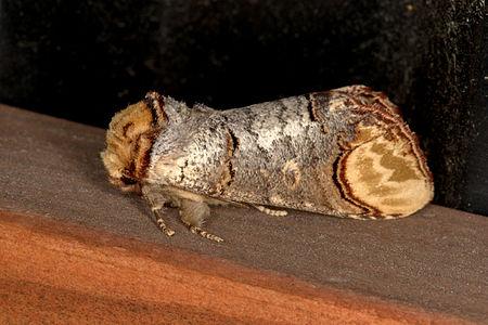 Phalera bucephala, Lodz(Poland)01(js).jpg