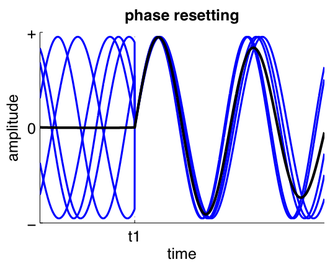 Phase resetting in neurons - The phase of ongoing oscillatory activity is reset.