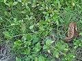 Phyla nodiflora (4745312509).jpg