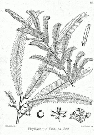 Phyllanthus emblica Bra52.png