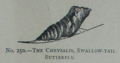 Picture Natural History - No 250 - The Chrysalis, Swallow-tail Butterfly.png