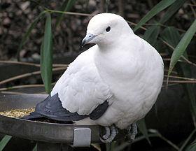 Pied.imperial.pigeon.arp.jpg