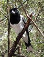 Pied butcherbird (5278818753).jpg