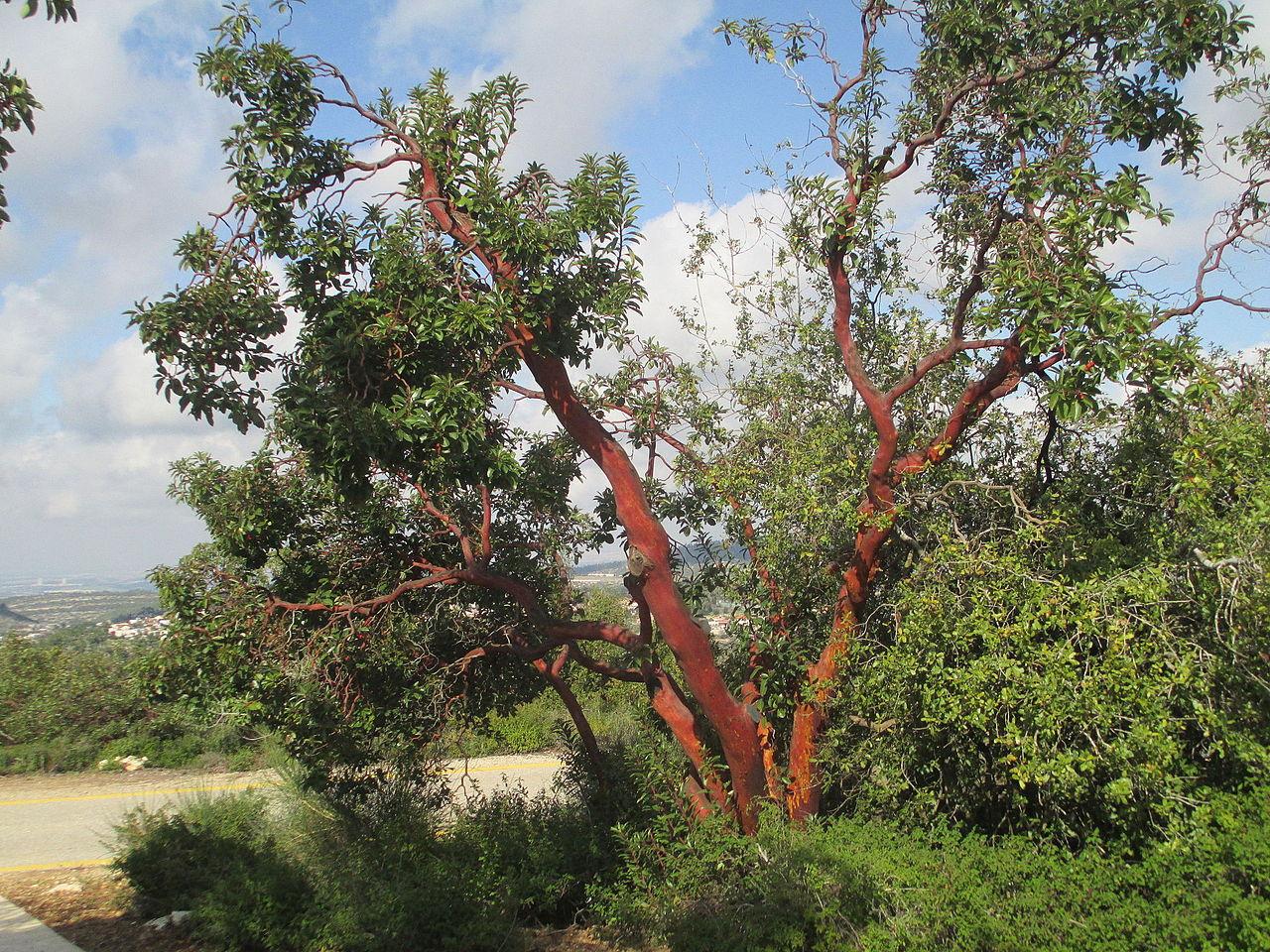 PikiWiki Israel 40974 Arbutus.JPG