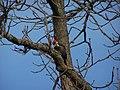 Pileated Woodpecker (198 8922).jpg