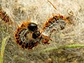 Pine Processionary-moth Caterpillars (32216589785).jpg