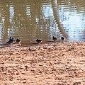Pink-eared duck Burke River Boulia Queensland P1030173.jpg