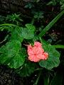Pink flower of Vast.jpg