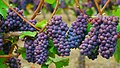 Pinot gris grape clusters.jpg