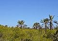 Pins i palmeres de les dunes de Guardamar.JPG