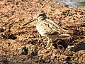 Pintail snipe-from kattampally wetland - 5.jpg