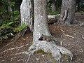 Pinus albicaulis (28924857280).jpg