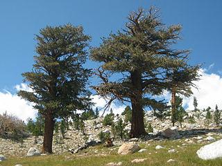 <i>Pinus balfouriana</i> species of plant